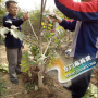 涞水文玩核桃树苗品种选择,价格多少钱,移植时间