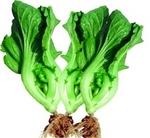 电白水东芥菜 广东唯一获地理标志保护蔬菜