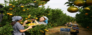 柑橘使用金沃地肥料