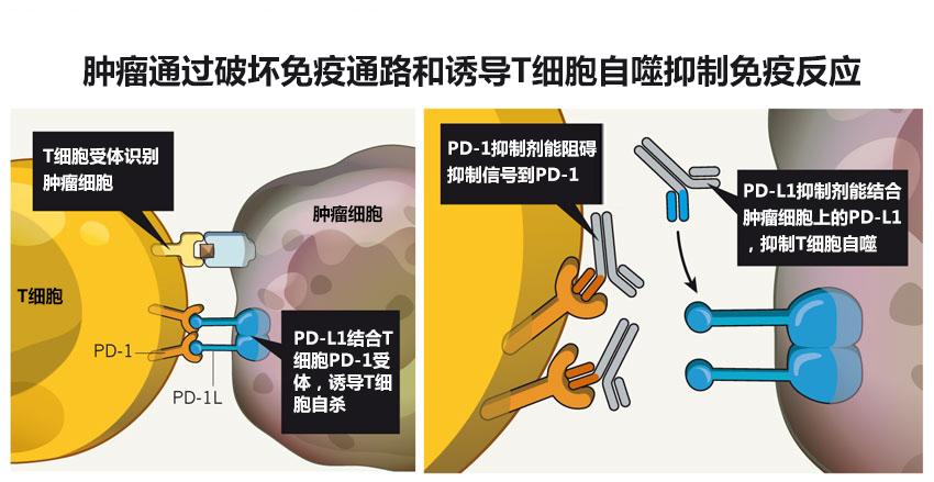 PD-1抑制剂是如何作用的?