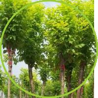 山楂树在绿化工程中的修剪注意事项
