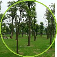法桐树在绿化工程中的修剪注意事项