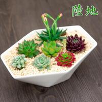 陆地 多肉植物盆栽 室内花卉绿植 办公室小盆栽 含白瓷花盆组合 爱情海