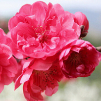 爆!【必秒】 买2株送一株 多买多送 嫁接日本樱花树苗 盆栽地栽 当年开花 大山樱