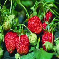 【植觉-草莓苗】室内阳台种植 草莓苗/四季草莓苗 盆栽地栽草莓苗 南北方种植 美香莎 不含盆