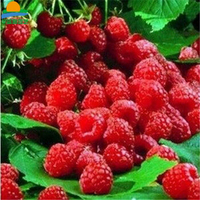 卉之乡 热卖 盆栽野生树莓苗 山莓 刺泡 覆盆子苗黄树莓黑树莓 果树苗 红树莓 6年苗