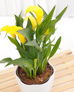 阿克苏河 碗莲种子迷你睡莲种子花卉水培植物 四季播种 已开口多色可选 白莲已开口10粒