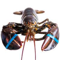 鲜动生活 加拿大活龙虾450g-560g/单只 鲜活直达不活包赔