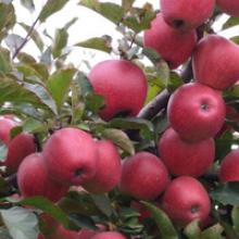 【开春特惠】【买二送一】盆栽地栽果树苗盆景苹果苗嫁接苗果树苗全国适宜种植 6巨森 5年苗不含盆