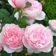 风立克 欧月瑞典女王月季花苗 花色柔美藤本月季花苗 清香型 多花蔷薇苗