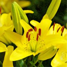 带芽香水百合种球百合花球根花卉植物盆栽绿植香水百合种球 黄莉