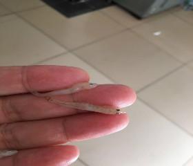 小油光鱼( Acanthogobis flavimanus)