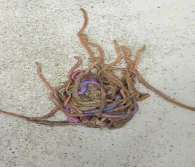 水蚯蚓(clam worm)