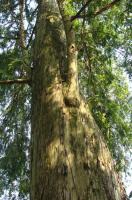 银河实业红豆杉