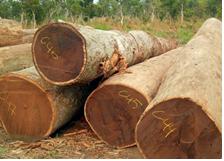 365体育手机版 森林进口澳大利亚瑞格楠木