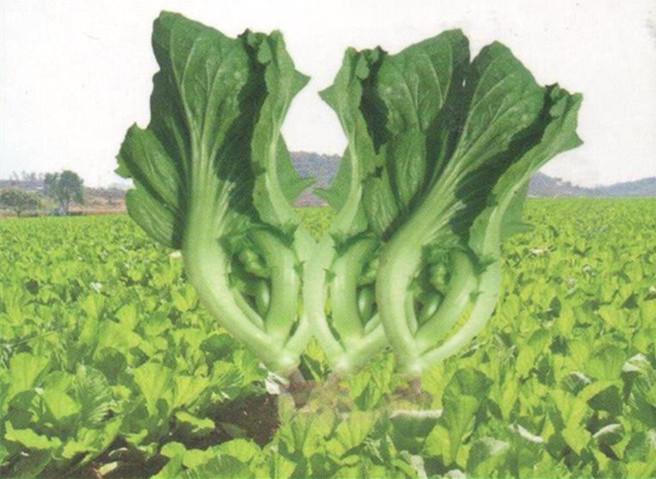 芥菜1.jpg