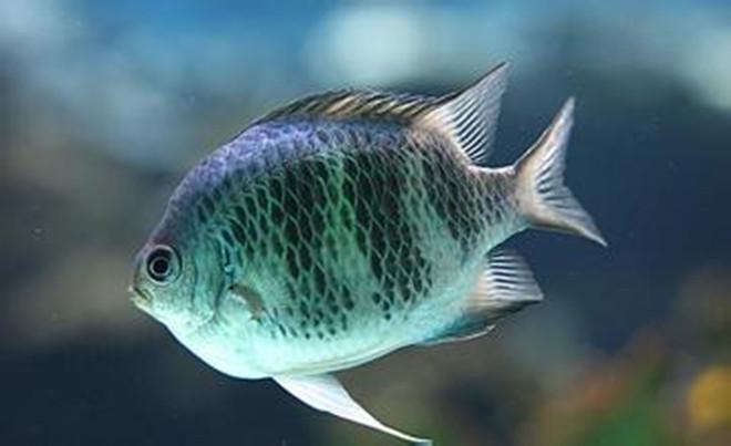 水产扁鱼1.jpg