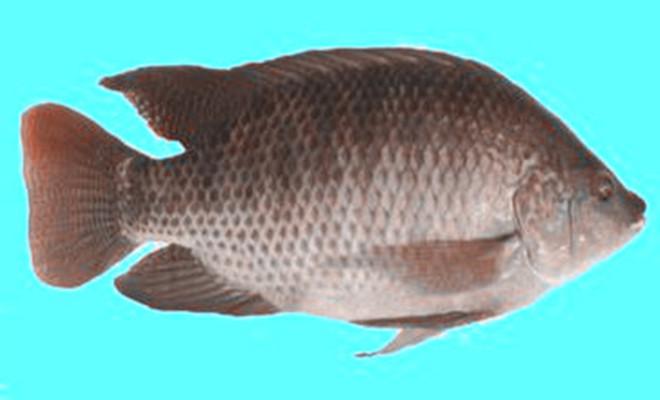 水产罗非鱼1.jpg
