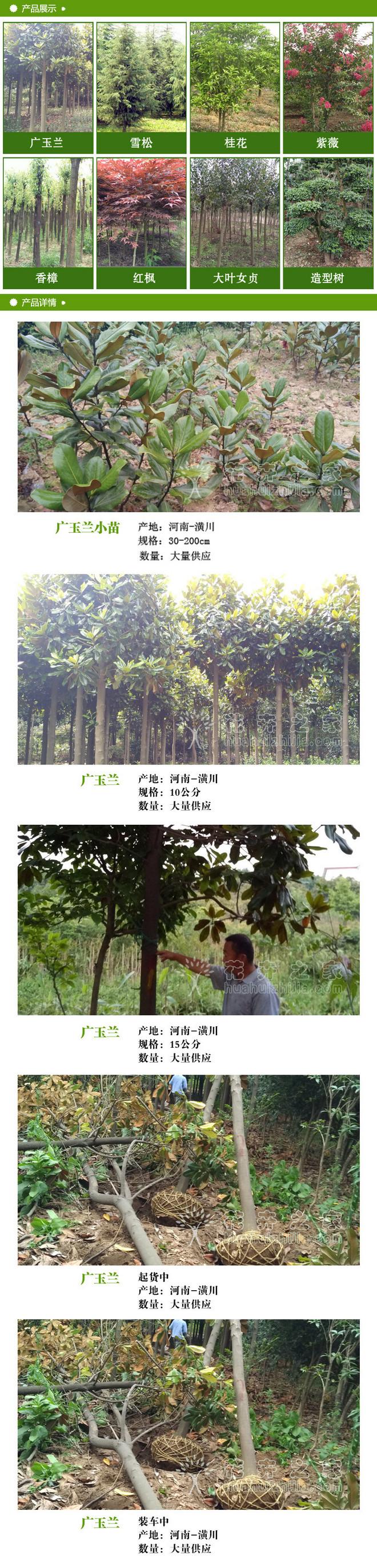 广玉兰2.jpg