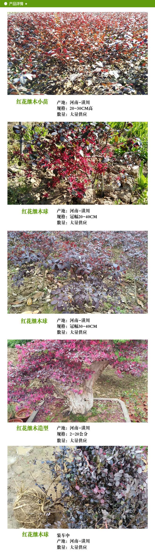 红花继木球2.jpg