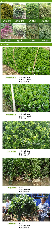 大叶黄杨球2.jpg